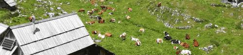 novi pravopisni predlogi, pravopis, krave, Velika planina, pašnik